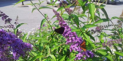 En fjärilsbuske som vi planterat som älskas av alla fjärilar